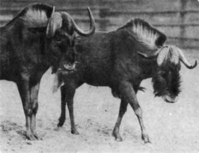 В Африке два вида гну: голубой и белохвостый. Последний почти истреблен. Небольшие его стада находятся под охраной.