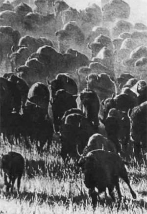 До европейцев в Америке жило 60 миллионов бизонов. Сейчас их не больше 20 тысяч.