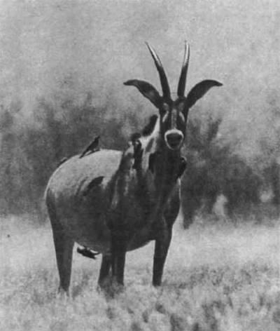 У саблерогих и близких к ним чалых антилоп метровыми, а иногда и полутораметровыми рогами наделены и самцы и самки. Обитают эти антилопы в саваннах Африки, к югу от Сахары.