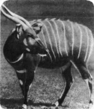 Антилопа бонго внешне похожа на куду и канну, но живет не в саваннах, а в густых тропических лесах Западной Африки и Кении. Это одна из самых красивых антилоп: яркого красно-каштанового тона с белыми поперечными полосами.