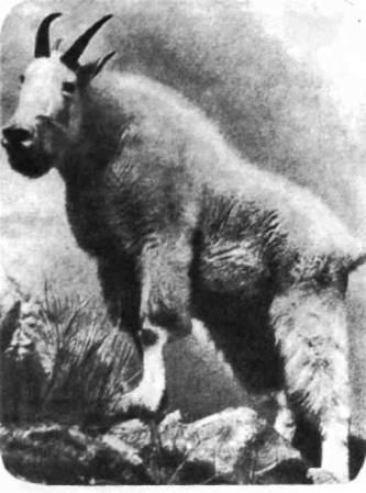 Снежный козел Скалистых гор — единственный дикий козел Америки. Но это не настоящий козел: в его анатомии много черт, сближающих его с антилопами. Новорожденные снежные козлята через десять минут уже встают на ножки, через двадцать — сосут, через полчаса резво прыгают по скалам.