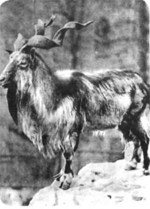 У винторогого козла мархура рога — гигантские штопоры, как раз по руке Гаргантюа: длиной до метра с четвертью.