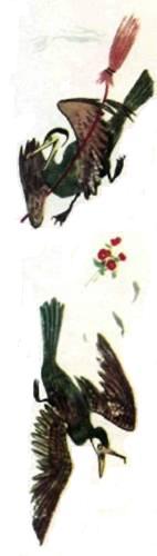 Пеликанша гоняет метлой пеликана