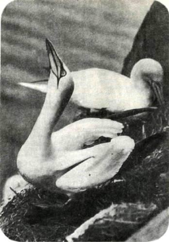 Олуши только гнездятся на суше, все остальное время проводят в море, впрочем, недалеко от берегов. Свое единственное яйцо олуша насиживает, прикрыв его лапами, и так согревает. Десятинедельные птенцы прыгают со скал, на которых гнездятся олуши, прямо в волны прибоя.
