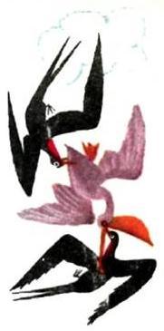 Фрегаты вдвоем напали на пеликана