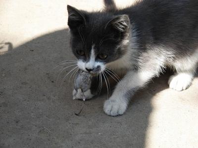 Котенок Максим поймал мышку - истории и рассказы посетителей.