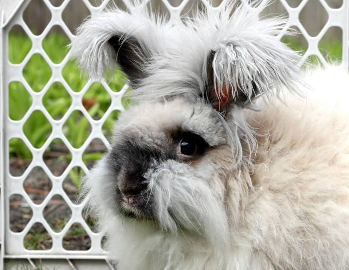 английский ангорский кролик фото каждого